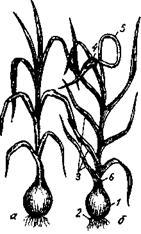 Чеснок нестрелкующейся (а) и стрелкующейся (б) форм